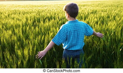 Boy walking on wheat field and touching the green ears