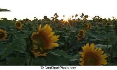 Boy Walks Along Sunflower Field - Panning atop a sunflower...