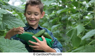 Cute little boy with heap of cucumbers eating one in the greenhouse