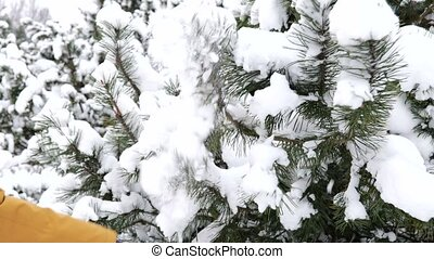 Boy's hand pulls conifer branch covered with snow in slow motion