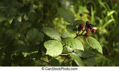 Boysenberry Growing on Vine - Steady, medium close up shot...