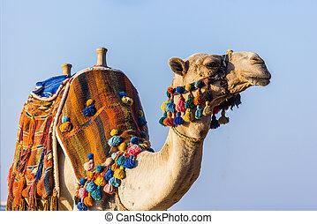 bozal, africano, camello