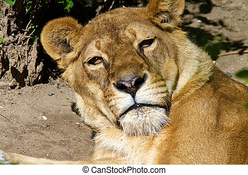 bozal, leona, Descansar, Adulto,  animal, salvaje