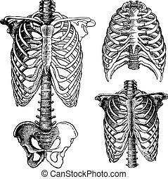 bröstkorg, vektor, grafik