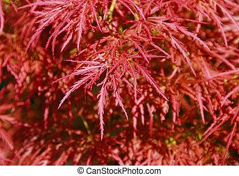 brûler, buisson, arbre, érable japonais