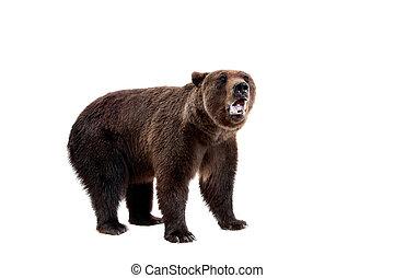 brązowy, arctos, ursus, niedźwiedź