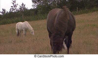 brązowy, biały koń