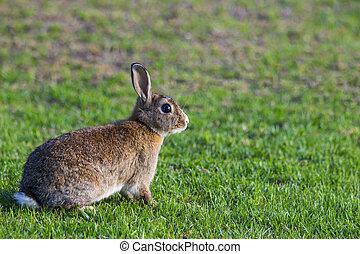 brązowy, biały królik, portret