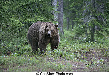 brązowy, europejczyk, arctos, ursus, niedźwiedź
