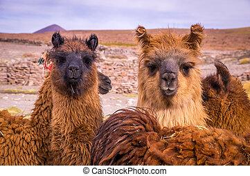 brązowy,  Lama, Alpaka, stado