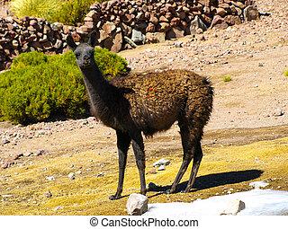 brązowy, lama, na, przedimek określony przed rzeczownikami, pasza