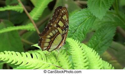 brązowy, motyl