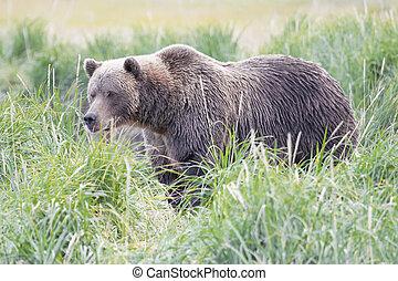 brązowy, przybrzeżny, niedźwiedź