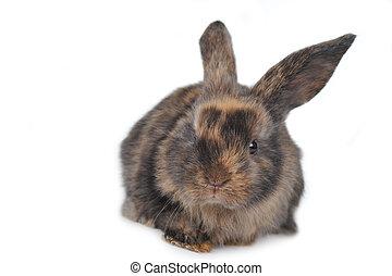 brązowy, puszysty, królik