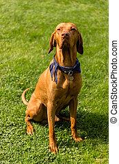 brązowy, usługiwanie, pies