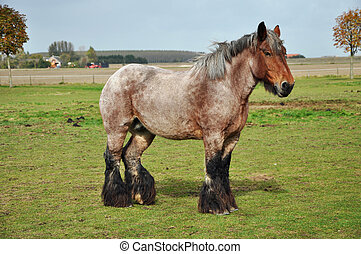 Dutch Heavy Draft Horse in a meadow near Sint Philipsland in the province of Zealand, the Netherlands