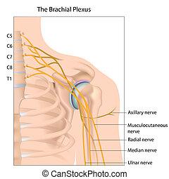 Brachial plexus, eps10 - Brachial plexus nerve network,...