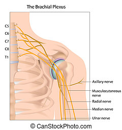 brachial, plexus, eps10