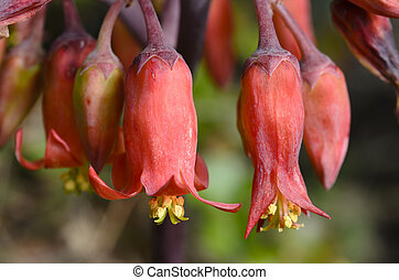 Brachychiton Acerifolius, its flowers are very cute, because...