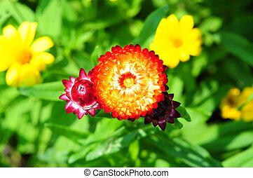 bracteatum, o, helichrysum, garden., strawflower, flower.
