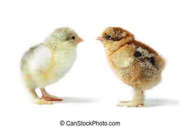 Brahma pair - pair of little pedigreed chicks Brahma with...