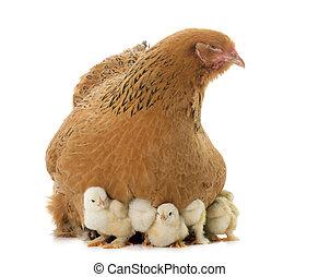 brahma, poulet, et, poussins