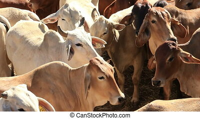 Brahman Beef Cattle Cows in Sale Yard Pens - This is a clips...