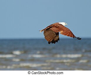 Brahmani kite flying away