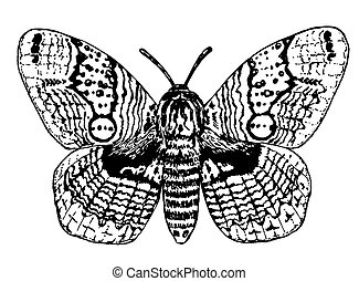 Brahmin moth drawing
