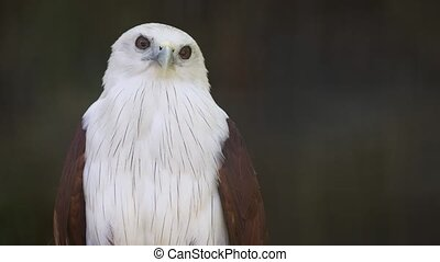 Brahminy Kite, Standing Curiously on his Perch - Solitary, ...