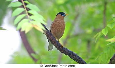 Brahminy Starling Sturnia pagodarum Beautiful Birds of...