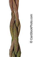 Braided tree trunk of a Hibiscus tree
