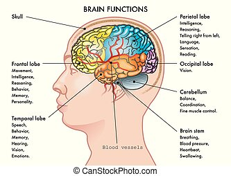 brain functions - Chart medical illustration of a human head...