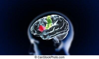brain head various section