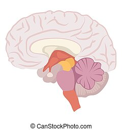 Brain illustration on white background