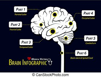 Brain infographic . Flat design .