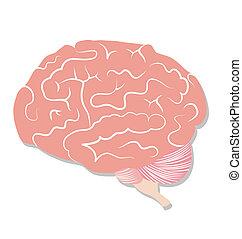 Brain on white background