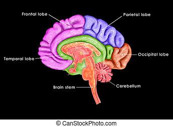 Brain Parts - brain, human, anatomy, illustration, nervous,...