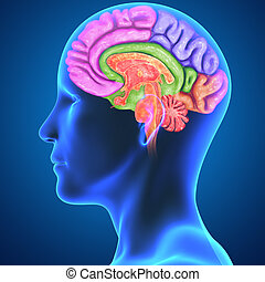Brain parts with Body - The human brain has the same general...