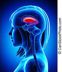Brain putamen and caudate nucleus - 3d rendered illustration...