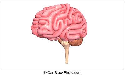 Brain - cortex biology cerebral biological anatomical...