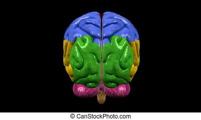 Brain with regions 03