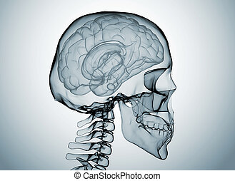 Brain x ray - Brain and skull x ray image isolated on white