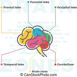 Brain Zones Scheme. Colorful Infographics of Different Lobes...