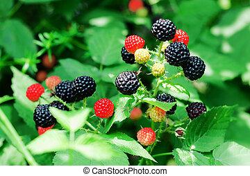bramble berries on a bush