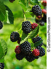 Bramble branch with blackberries