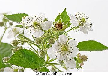 Bramble Bush - Blackberry blossoms and leaves on light...