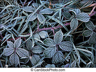 Bramble covered in frost.