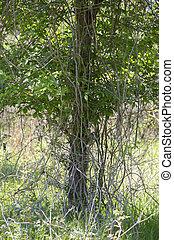 Bramble growing down a single tree in a meadow