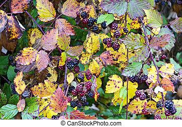 brambleberry shrub with autumnally foliage and many berries
